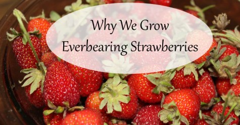 Everbearing Strawberries F
