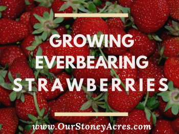 Growing Everbearing Strawberries - FB