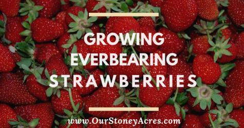 Growing Everbearing Strawberries - FB