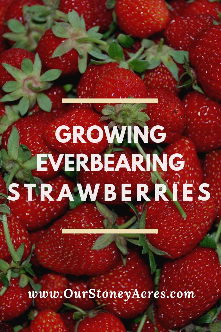 Growing Everbearing Strawberries Pin1