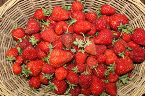 Everbearing strawberries harvest