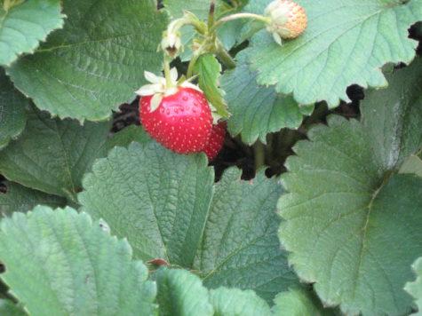 Everbearing Strawberries -2