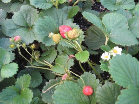 Everbearing Strawberries 3