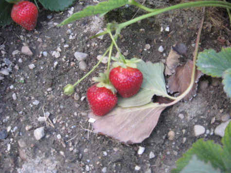 Everbearing Strawberries - 1
