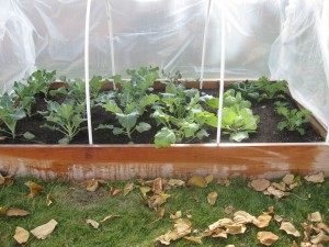 A hoop house filled with veggies!