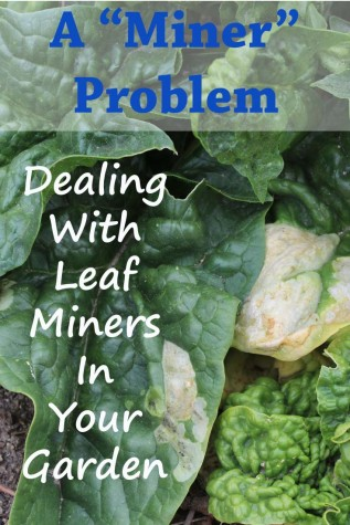 Dealing with leaf miners