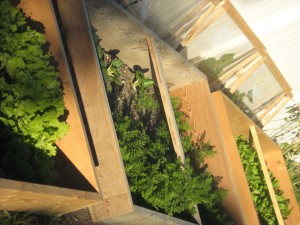 Winter Garden Harvest from a Cold Frame