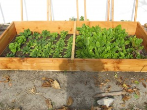 Spinach and Swiss Chard in a Cold Frame