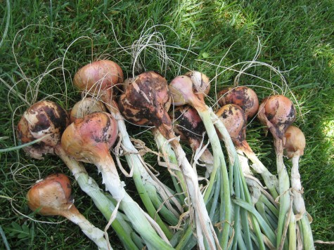 Growing Shallots in the Home Garden 3