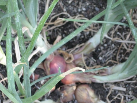 Growing Shallots in the Home Garden 2