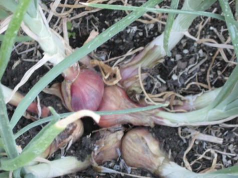 Growing Shallots in the Home Garden 1