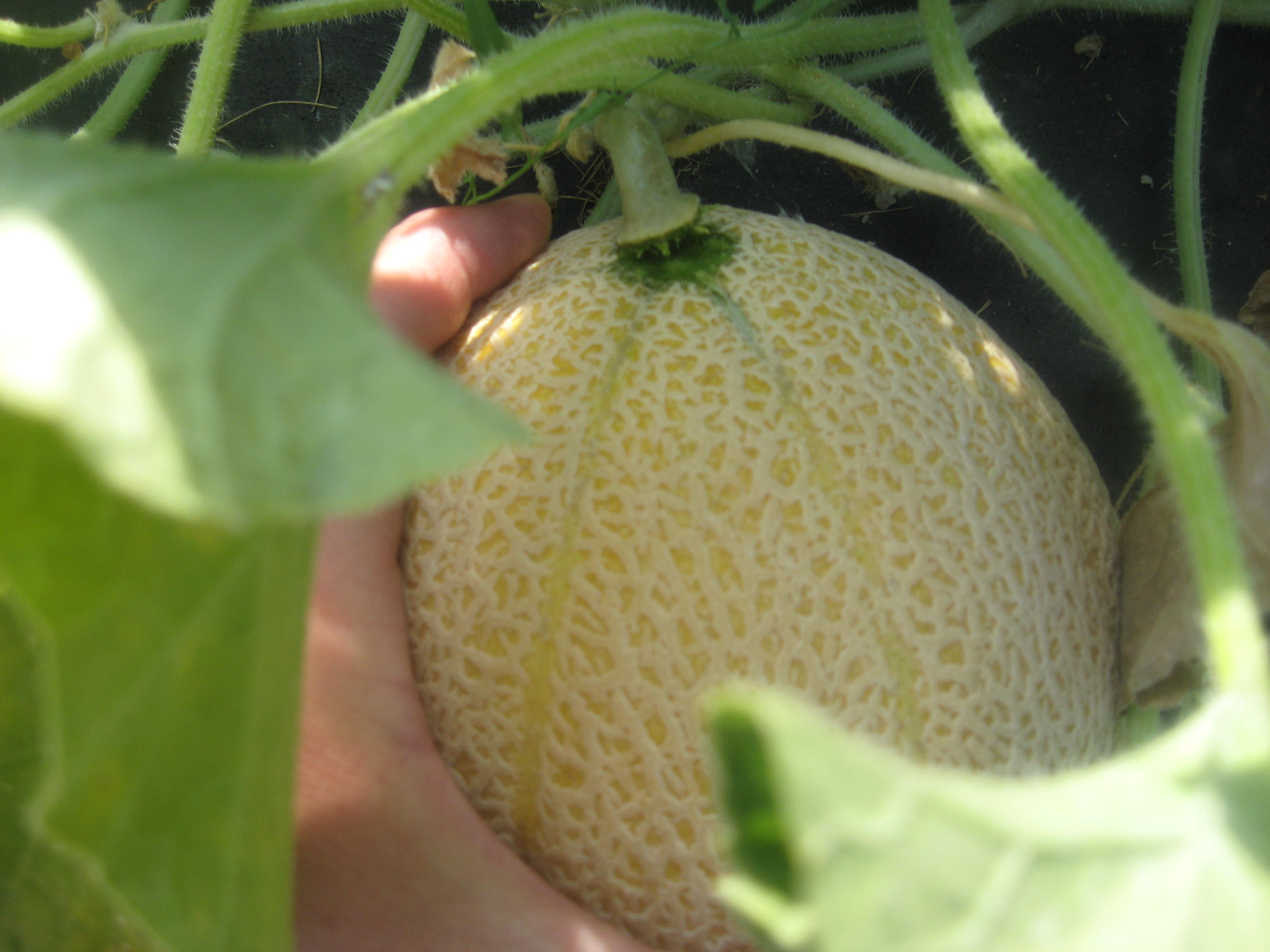 A gentle tug will cause the vine to separate from the melon when its ready to pick