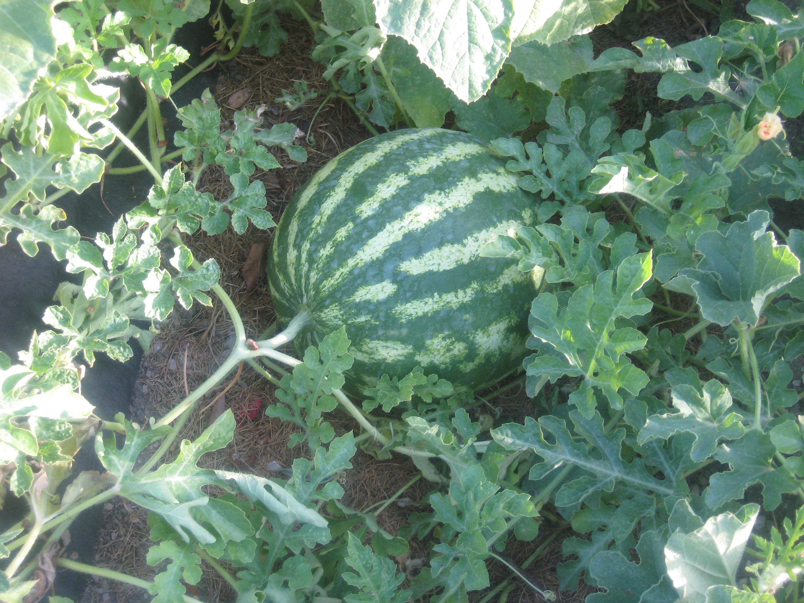 Watermelons are much harder to tell when they are ripe!