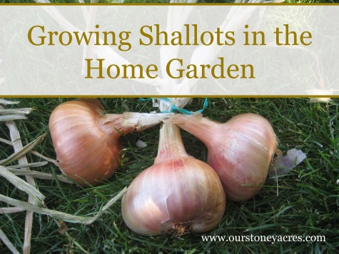 Growing Shallots in the Home Garden