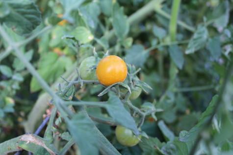 Sun Sugar Tomatoes 5
