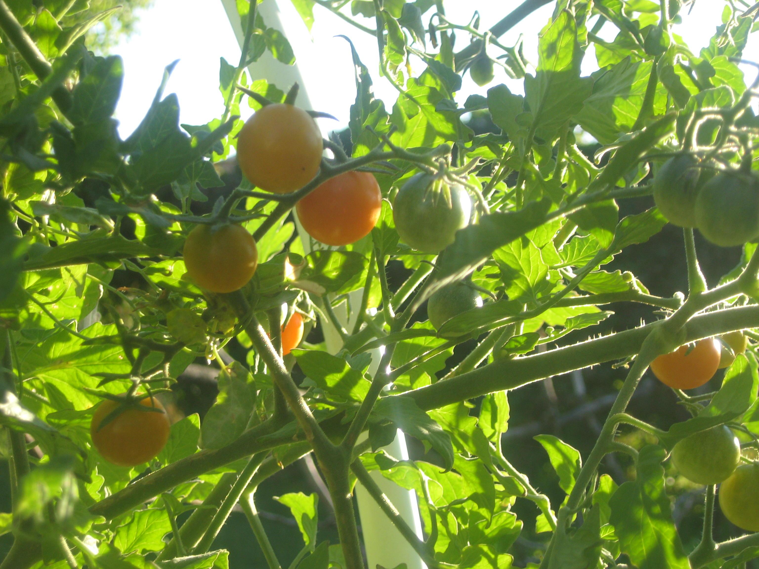 Sun Sugar Tomatoes #3