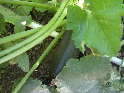 Growing summer squash 1