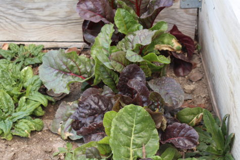 Cold Frame Crops - Swiss Chard