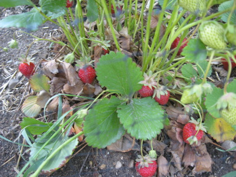 Strawberries ready to be harvested