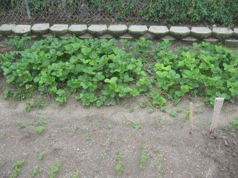 A strawberry patch planted from bare root plants after just 1 year.