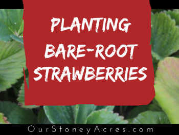 Planting Bare Root Strawberries fb