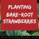 Planting Bare Root Strawberries fb