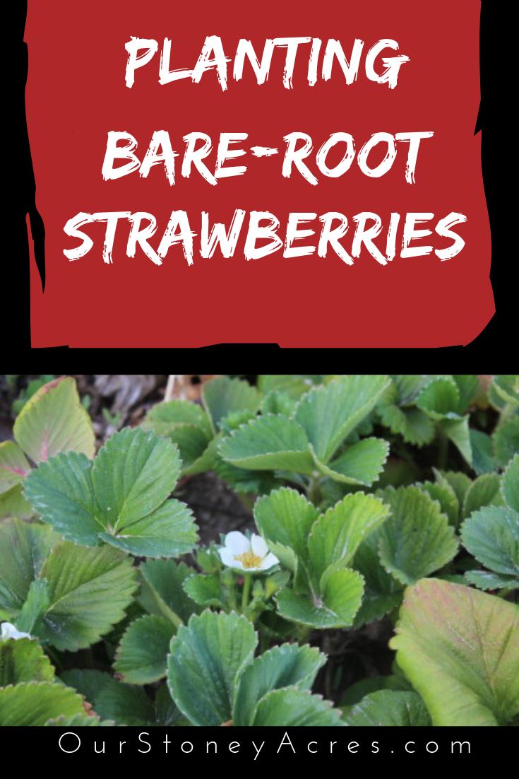 Planting Bare Root Strawberries