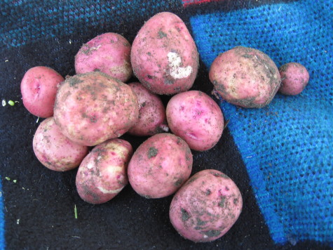 Early Potatoes 9