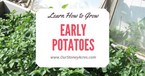 Growing Early Potatoes - FB