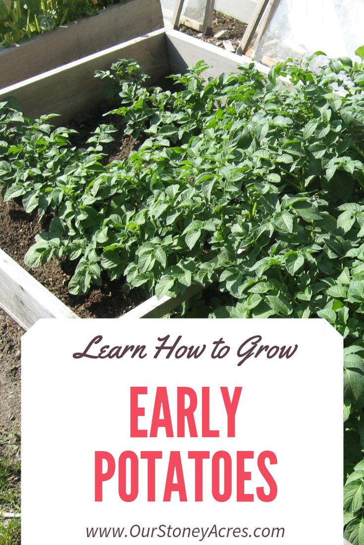 Growing Early Potatoes Pinterest