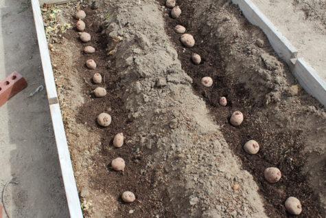 Early Poatoes 2