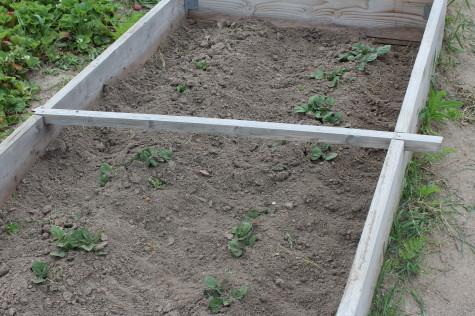 Early Potatoes 7