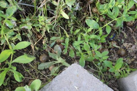 A snail problem - Snails hiding