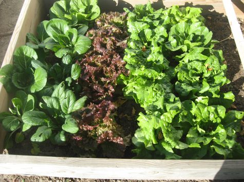 Growing lettuce in the fall