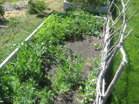 What can you plant in July - Peas