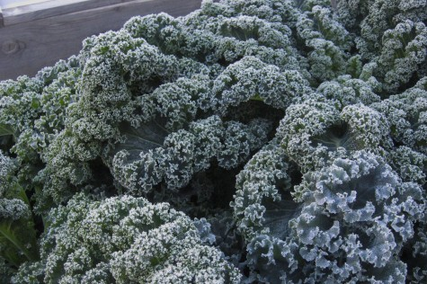 Growing a year round Garden - Kale
