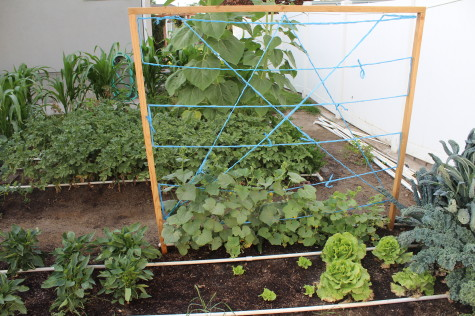 Simple Cucumber trellis 8