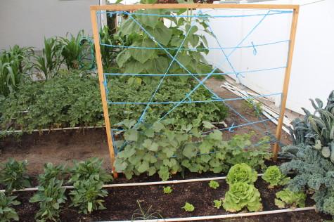 Simple Cucumber trellis 8