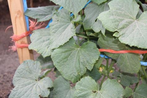 Simple Cucumber trellis 7