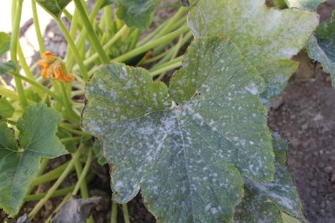 8 Fall Gardening Tasks powdery mildew