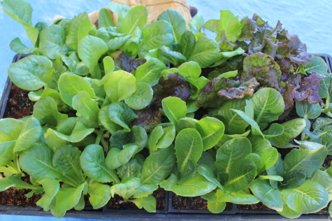 Growing Lettuce in the Fall starts