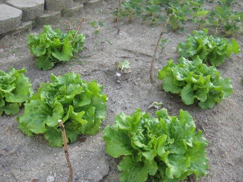 Lettuce is an easy to grow plant