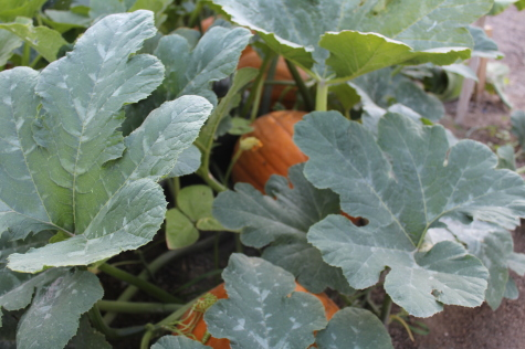 7 Easy Vegetables to Grow pumpkins