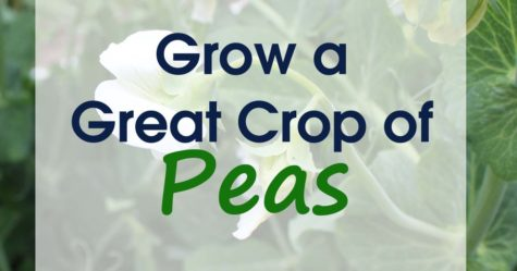 Growing Peas FB