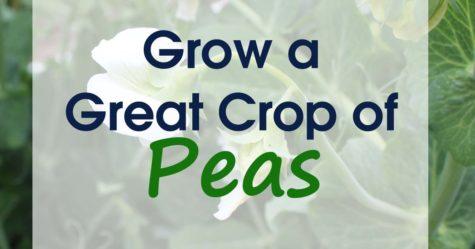 Growing Peas FB