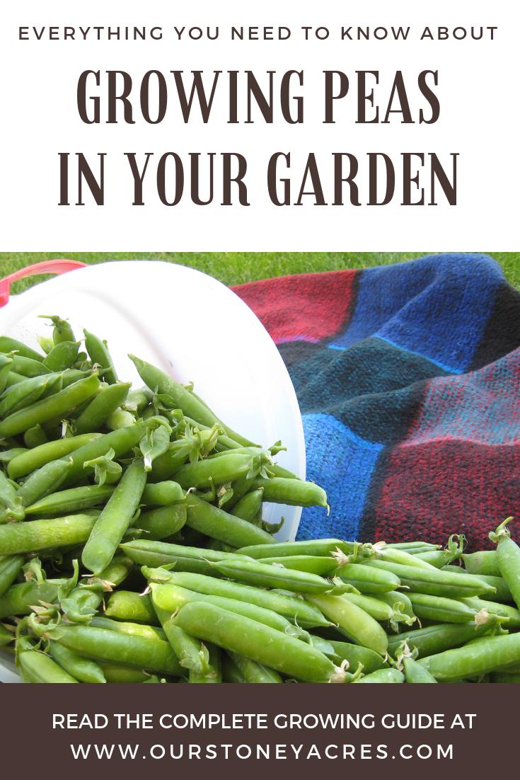Growing Peas in Your Garden