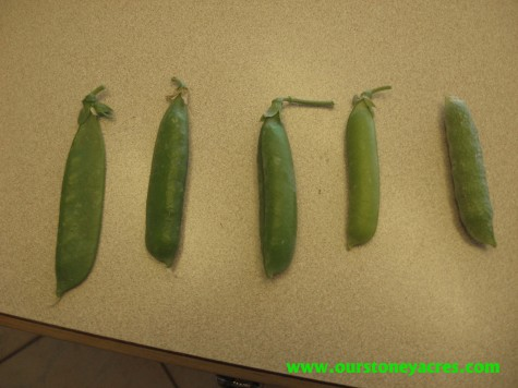 How to know when to Harvest Peas
