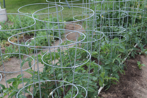 10 Growing tips for tomatoes cages