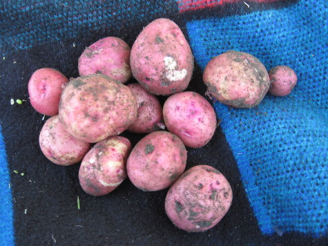 Growing Potatoes types