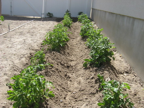 Growing Potatoes Hills